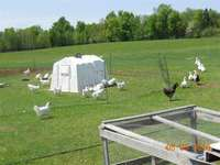 Fieldpen_phto_3_of_chickens____007_(2)